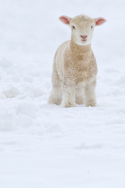 fleece-as-white-as-snow-by-amy-kimball
