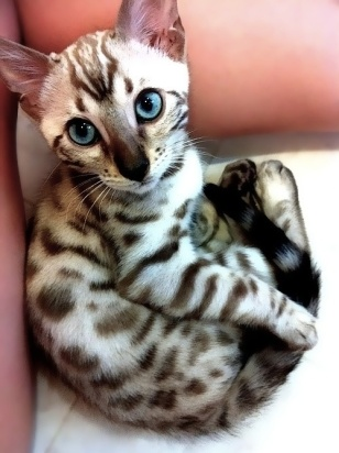 What a beautiful kittie! I want!!