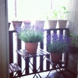 Our balcony is overflowing with tomato plants, so we bought some lavender to add a bit of color.