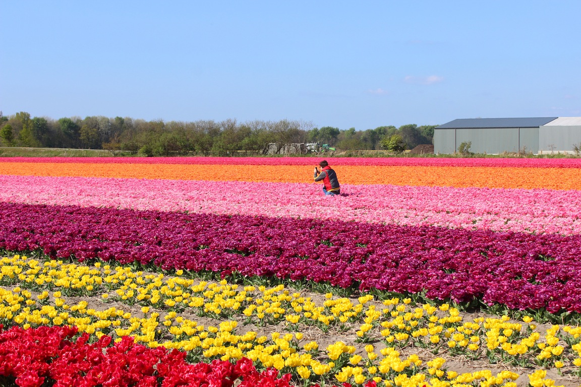Tulips in Holland – Amsterdam and Beyond