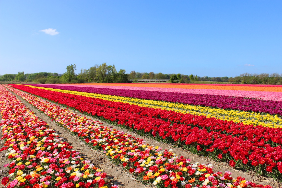 Space Saving Queen Bed Tulips In Holland