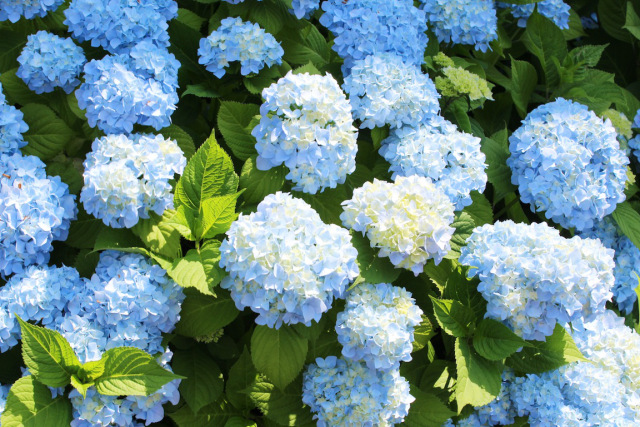 Smelling the hydrangeas in full bloom.