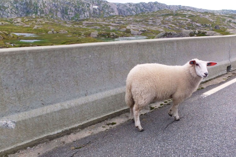 Norwegian Sheep